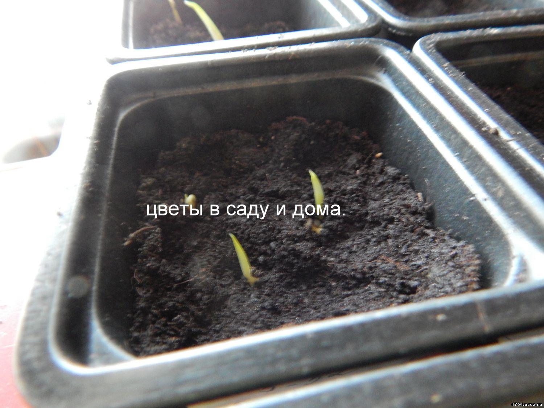 Гортензия из семян: выращивание, как посадить 47